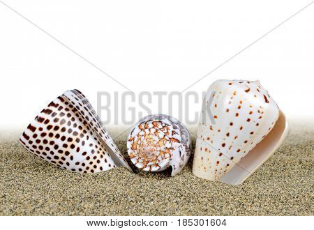 Tropical sea shells of the Conidae family in the sand.