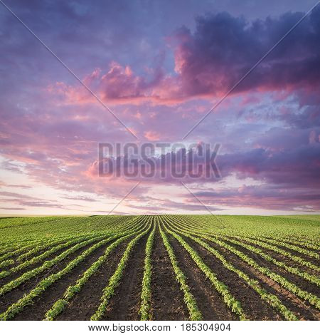 Rows of young green soybean against the purple sky with beautiful clouds. Perfect soy fields in early summer season.