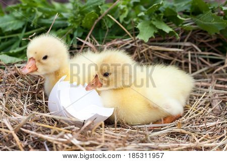 two little domestic gosling with broken eggshell in straw nest.
