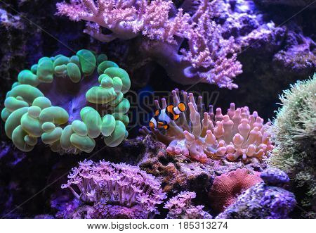 Reef tank, marine aquarium. Blue aquarium full of plants. Percula. Neon green bubble coral. Clavularia. Zoanthus. Tank filled with water for keeping live underwater animals.