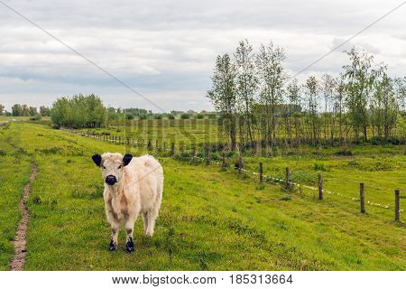 White galloway calf with a thick coat standing alone on top of a Dutch embankment curiously looking at the photographer on a cloudy day in the spring season.l