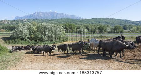 Buffalo grazing in a field. Campania Italy Europe to understand a conception of agriculture and industrialization
