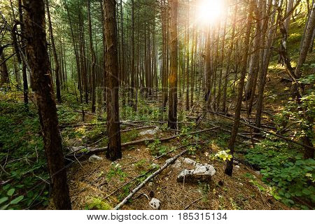 Beautifull green forest in the morning sun beams