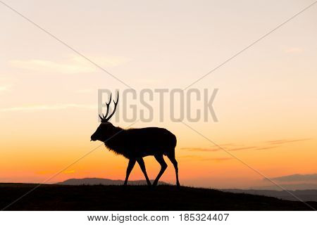 Deer buck in mountain at sunset