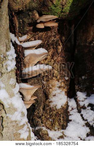 Pleurotus Ostreatus, The Oyster Mushroom In Winter With Snow