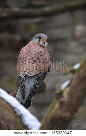 A European Kestrel (falco Tinnunculus) Sitting On A Branch