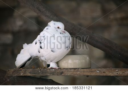 A Dove With A Bright White Plumage