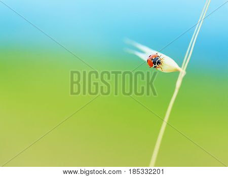 Cute ladybird sitting on wheat spike on abstract blue and green background, wild nature of countryside, summertime concept