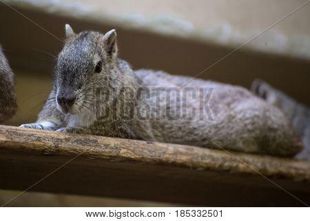 Rock Cavy (kerodon Rupestris) Sitting On A Wooden Board