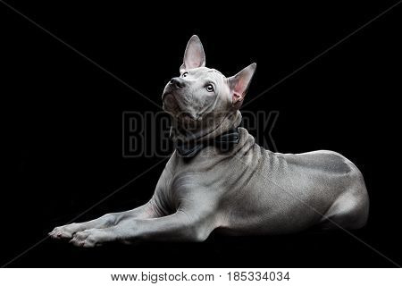 Beautiful blue thai ridgeback 3 months old puppy with bow tie over black background. Copy space.
