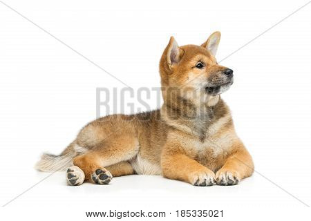 Beautiful brown japanese shiba inu puppy dog lying. Isolated on white. Copy space.
