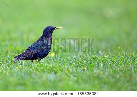 Starling in a clearing in the wild