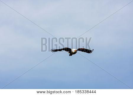 Flying eagle angler. Naivasha lake, Kenya. Africa