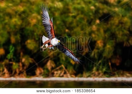 Flying eagle angler above the lake. Naivasha, Kenya
