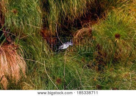 Black-white kingfisher on branch. Naivasha lake, Kenya