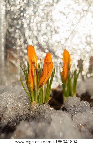 beautiful spring crocus flower on the background image