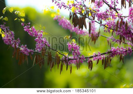 Blurred Blooming Sprig Of Pink Acacia Against The Bright Blue Sky Closeup