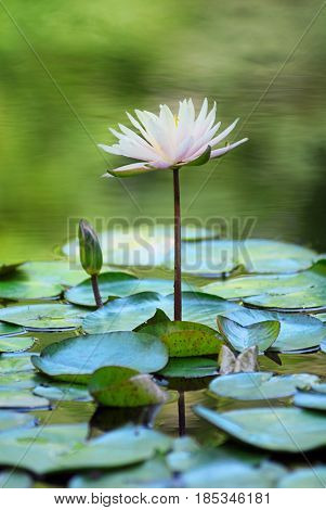 White water lily close up image with rippled reflection in background