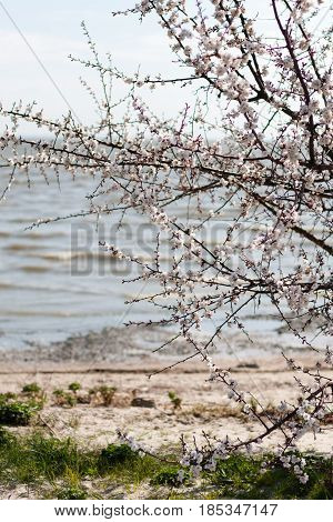 vertical shot of branches of blossoming cherry tree with lake water behind in background
