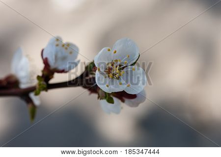Vertical closeup of cherry flowers on branch of blossoming cherry tree against blurred background