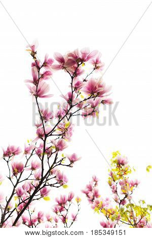 Magnolia Blossoming Flowers In Spring Time On White Background