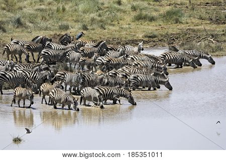 A herd of zebra drink and bathe in this river in Tanzania, Africa.