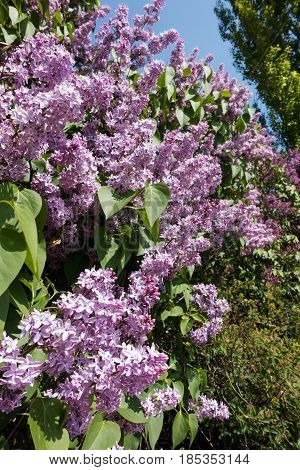 Purple Lilac In Spring