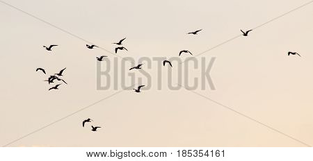 a flock of birds at sunset . A photo