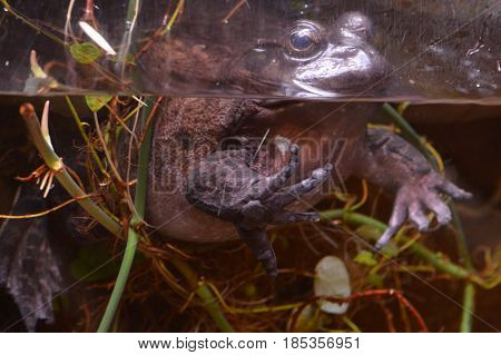 A large toad in the water in a tank