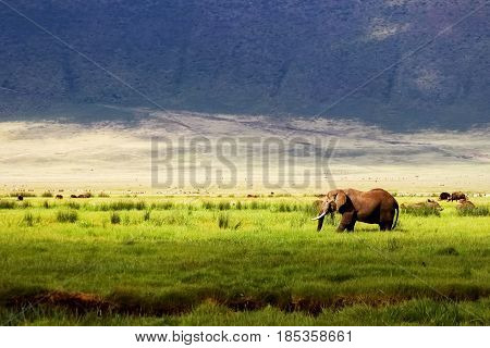 Wild african elephant in green grass in the Ngorongoro Conservation Area on the background of mountains