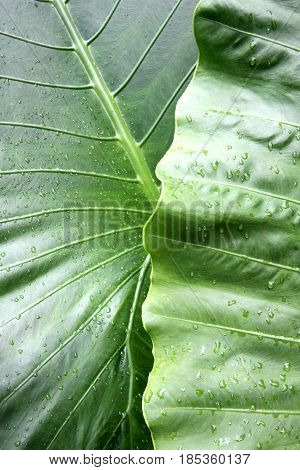 Two giant green leaves compliment and contrast each other