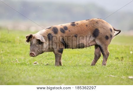 Domestic pig standing on fresh grass on meadow and looking at camera. Organic livestock breeding