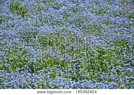 Forget me nots blue flowers wild meadow
