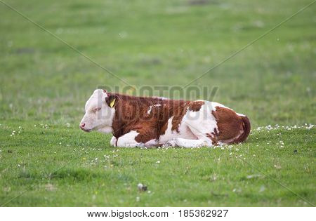 Calf Lying On Meadow