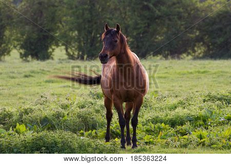 Beautiful Brown Horse stood in rural field