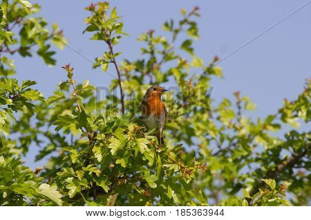 Cute Robin (Erithacus Rubecula) perched on Branch in British Countryside