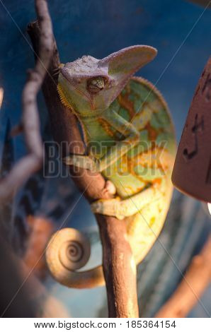 Chameleon on a branch of colorful hiding