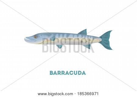 Isolated barracuda fish on white background. Seafood.