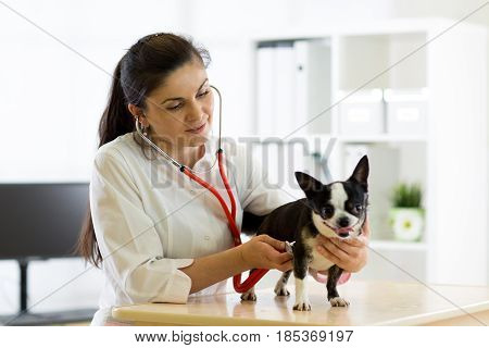 Veterinarian female doctor and Chihuahua dog at vet ambulance