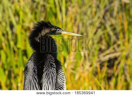 Anhinga bird posing on Everglades National Park