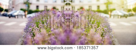 Wide banner panorama of beautiful lavender field with fresh and colorful lavender and with cars and city vibe in the in background