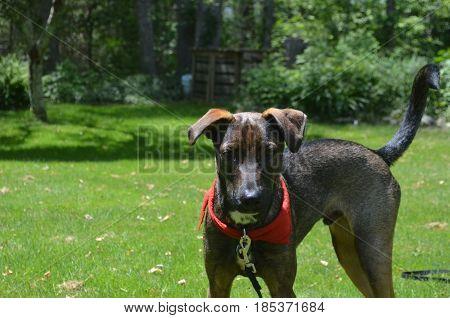 Sweet faced Aruban cunucu dog standing int he sunshine.