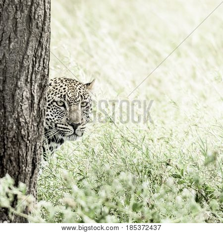 Leopard behind a tree in Serengeti National Park