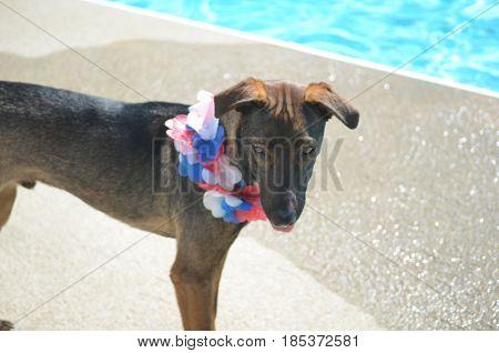 Sweet Arubian cunucu dog with a furrowed brow.