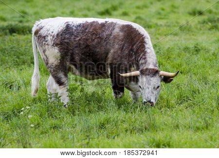 A bull is grazing. The whole herd is left to graze in a large park