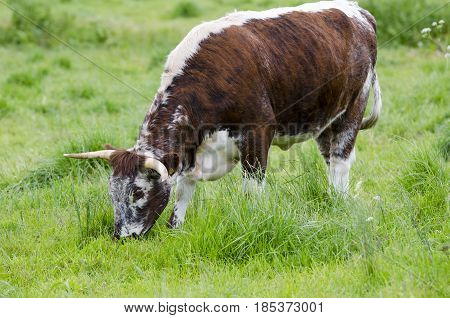 A bull is grazing. The whole herd is left to graze in a large park.
