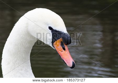 A portrait of a swan in a lake the background is soft can easily select the swan only in software to isolate.