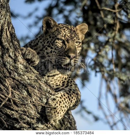 Cheetah resting on a tree  in Serengeti National Park