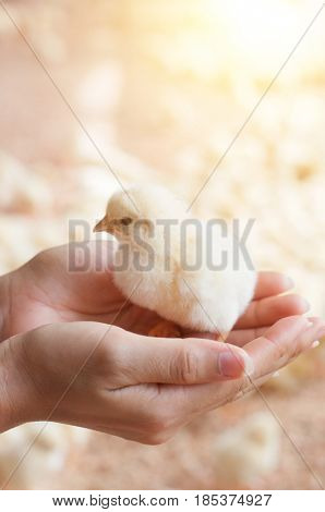 Hand holding newly hatched chick on a chicken farm