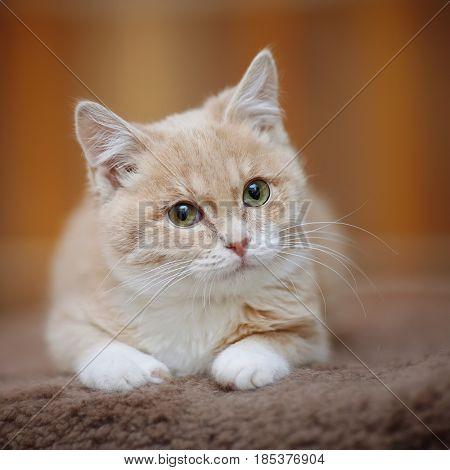 Portrait of light-beige tabby kitten with green eyes.